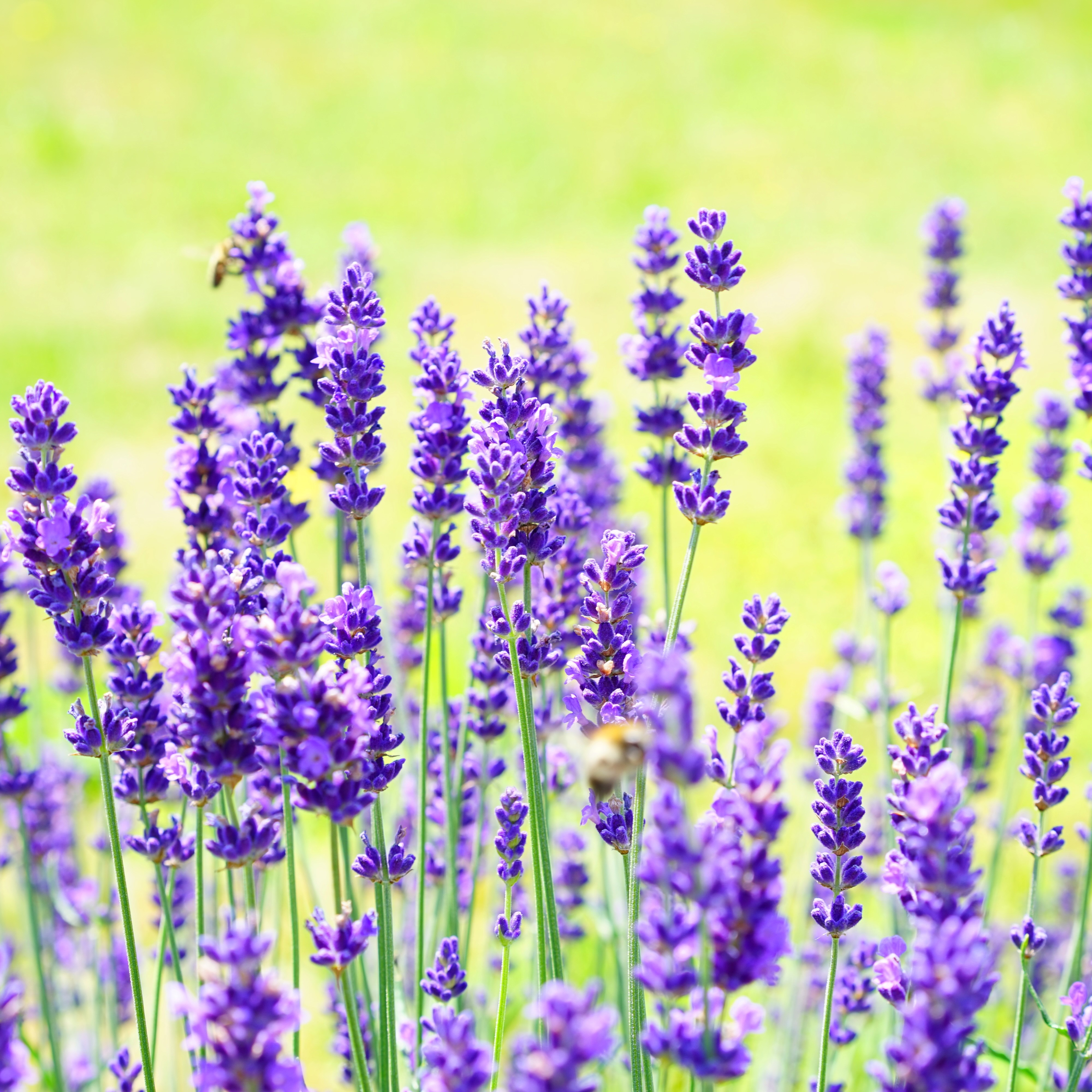 Canva_-_Lavender_Flowers_in_the_Field.jpg